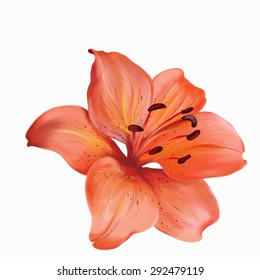 Watercolor illustration of orange lilies, isolated on white background, vector, EPS 10