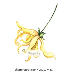 Watercolor illustration of Ylang-Ylang. Botanical Illustration. Watercolor. Vector illustration. Illustration for greeting cards, invitations, and other printing projects.