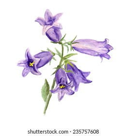 Watercolor image of cultivated bluebell on white background. Vector eps8
