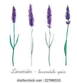Watercolor lavender set. Collection of hand painted vintage plants. Vector illustration.