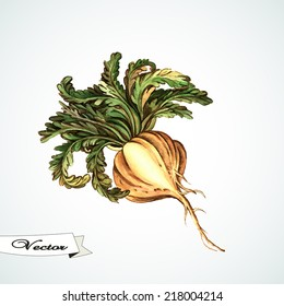 Watercolor Maca root.  Hand painting.  Illustration for greeting cards, invitations, and other printing projects.