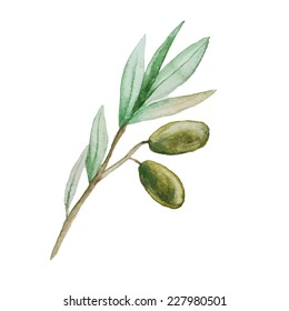 Watercolor olive branch on white background. Hand drawn and isolated natural vector object.