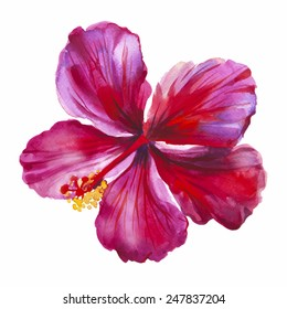 Watercolor red hibiscus. Hand drawn illustration. Vector option.