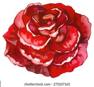 Watercolor red rose.