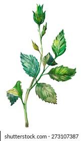 Watercolor rose twig.
