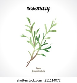 Watercolor rosemary. Provencal style. Recent watercolor paintings of organic food
