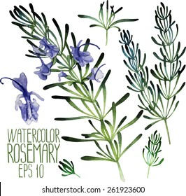 Watercolor rosemary set. Vector design elements isolated on white background