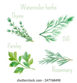 Watercolor set of vector illustrations of herbs and spices: rosemary, dill, parsley, thyme. Vector hand drawn botanical illustrations