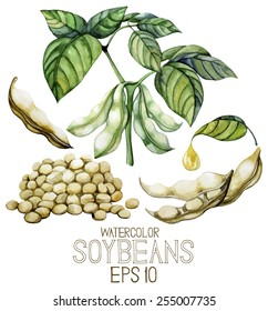 Watercolor soy plants isolated on white background. Beans,leaves and oil. Vector set of design elements