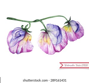 Watercolor sweet pea flowers. Decorative floral element painted in watercolor. Hand drawn tropical botanical element. Isolated on white background. Vector illustration.