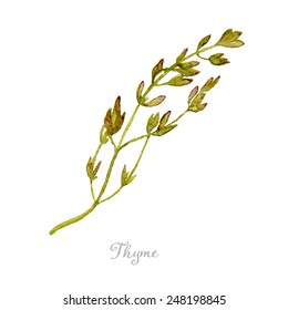 Watercolor thyme hand drawn, eps10