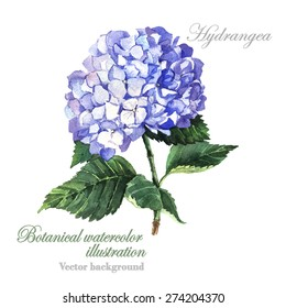 Watercolor vector Blue  Hydrangea. Watercolor illustration of a blue hydrangea blossom hand painted.