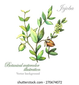 Watercolor vector botanical illustration Jojoba. Botanical Illustration. Watercolor. Vector illustration. Illustration for greeting cards, invitations, and other printing projects.