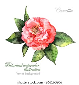 Watercolor vector Camellia flower. Botanical Illustration. Watercolor. Vector illustration. Illustration for greeting cards, invitations, and other printing projects.