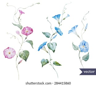 watercolor vector drawing delicate pink and blue flowers, morning glory