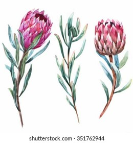 Watercolor  vector isolated drawing exotic flower Protea flower Australia, watercolor illustration