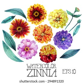 Watercolor zinnia set. Vector design element isolated on white background