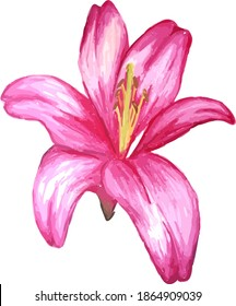 Watercolour drawing of pink lily isolated on white background.