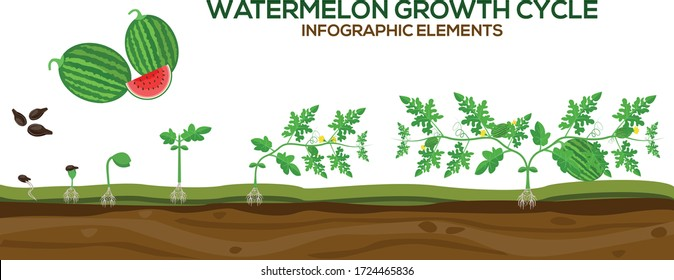 Watermelon growing cycle vector illustration in flat design. Planting process of Watermelon plant. Watermelon growth cycle from grain to flowering and fruit-bearing plant isolated on white background.