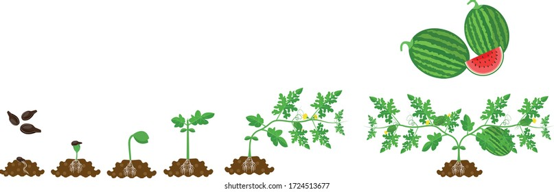 Watermelon plant growth or life cycle stages from seed on white background vector art. Infographic elements for agricultural purpose.