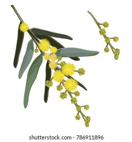 Wattle Flowering Vector Illustration