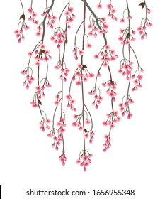 Weeping branch of Sakura isolated on white background. Traditional symbol of hanami in Japan. Spring cherry blossoms.