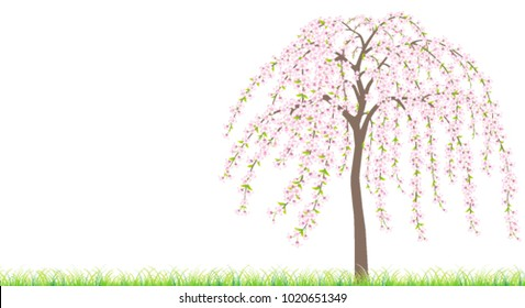 A weeping Japanese cherry tree in full bloom on grass