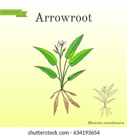 West Indian arrowroot (Maranta arundinacea), or obedience plant, araru, ararao. Hand drawn botanical vector illustration