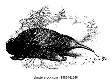 Western Long Beaked Echidna is one of the four extant echidnas, vintage line drawing or engraving illustration.