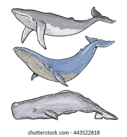 Whales collection humpback whale blue whale sperm whale hand drawn vector