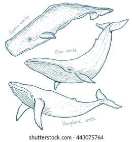 Whales set humpback whale blue whale sperm whale hand drawn vector