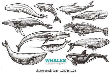 Whales sketch set. Big collection of different hand drawn whales and dolphins in engraving style. Zoological illustration