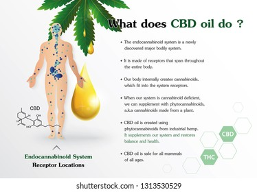 what does CBD oil do and human endocannabinoid system is infographic on white background.
