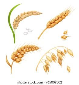 Wheat, barley, rice and oats. Ears vector set