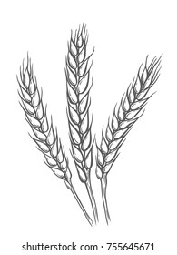 Wheat bread ears sketch hand drawn vector illustration. Isolated on white
