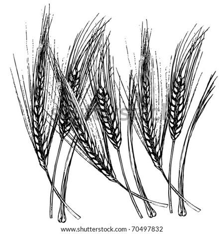 Wheat Drawing Stock Vektorgrafik Lizenzfrei 70497832 Shutterstock