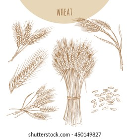 Wheat ears, sheaf and grains. Cereals sketch pencil hand drawn vector illustration. Bakery element design for beer, malt.