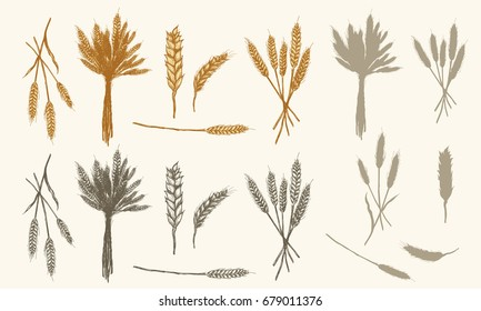 Wheat ears sketch, vector collection had drawn wheat