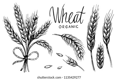 Wheat ears. Vector illustration