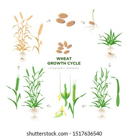Wheat growing stages, life cycle of wheat plant infographic elements in flat design, botanical set of illustrations isolated on white background. Wheat grain, seedling, stem, tillering, jointing