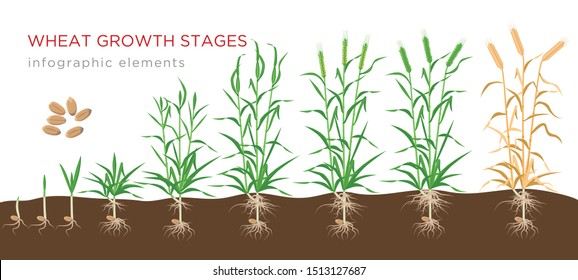 Wheat growth stages from seed to ripe plant infographic elements isolated on white background. Wheat growing vector illustration in flat design.