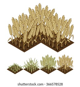 wheat isometric illustration. wheat growth stage. isometric wheat field