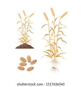 Wheat mature plant with wheat grains, roots and plant growing from soil - set of vector illustrations in flat design, botanical infographic elements isolated on white background.