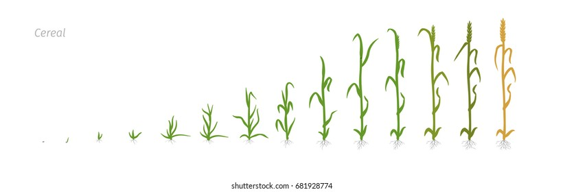 Wheat plant Triticum cultivation agriculture Growth stages vector illustration