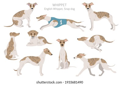 Whippet clipart. Different poses, coat colors set.  Vector illustration