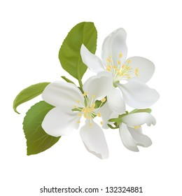 White apple flowers isolated on white background. Vector illustration