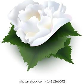 White begonia flowers, isolated on white background