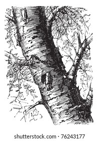 White Birch also known as Betula papyrifera tree trunk vintage engraving. Old engraved illustration of White Birch tree trunk