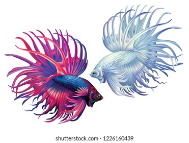White and blue-red siamese fighting fish on a white background (Betta splendens)