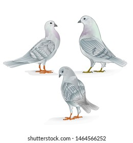 White Carriers pigeons domestic breeds sports birds vintage  set three vector  animals illustration for design hand draw